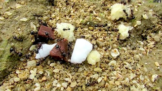 02.10.16. Что будет, если угостить муравьев шоколадом?