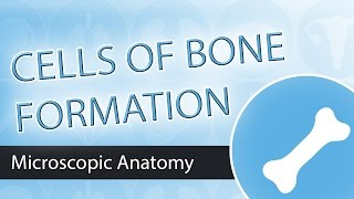 Cells of Bone Formation