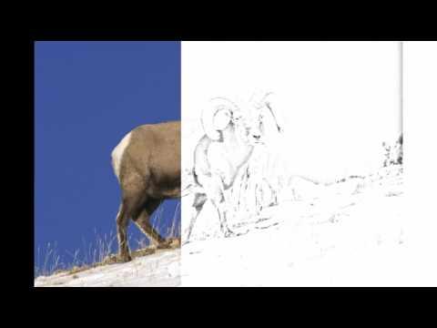 Auto Draw 2: Bighorn Sheep, Yellowstone National Park, Wyoming
