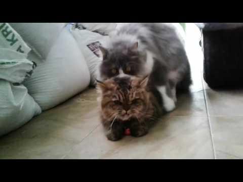 Kucing Persia Kawin Persian Cats Mating Doovi