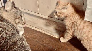 【クスッと笑える猫動画】新米の子猫vsベテランの通い猫トラちゃんが鉢合わせ