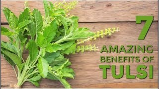 7 Amazing Benefits Of Tulsi You Should Definitely Know | Organic Facts
