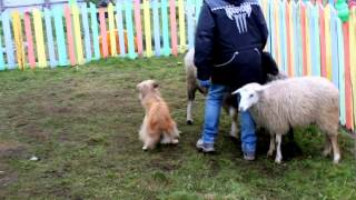 ТПИ2. Пиренейская овчарка Флёретт