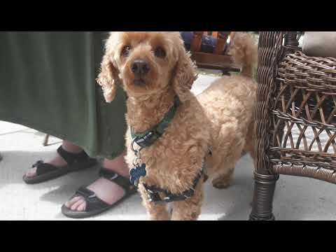 toy-poodle-keto-curly-shy-and-hides