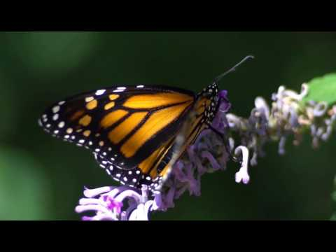 Sony A6300 Slow Motion Butterfly Test