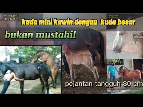 kuda poni kawin dengan kuda besar