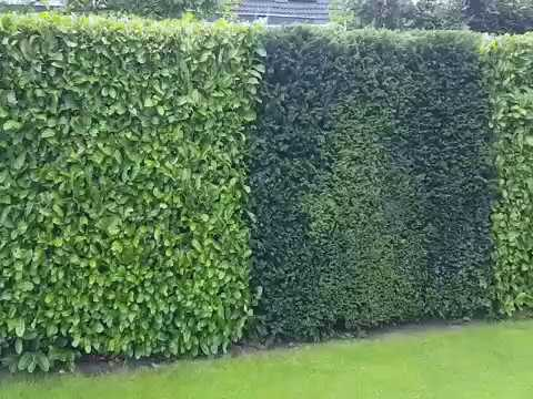kirschlorbeer hecke in verbindung mit taxus youtube. Black Bedroom Furniture Sets. Home Design Ideas