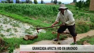 GRANIZADA AFECTA VID EN URIONDO