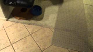 Miniature Pinscher Dog Throws Ball Back