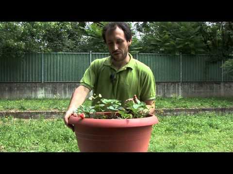 Coltivare fragole in vaso youtube for Fragole piante in vaso