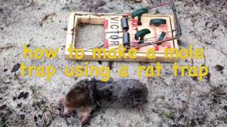 how to make mole trap using a rat trap