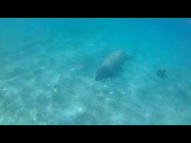 Dugong, Red Sea