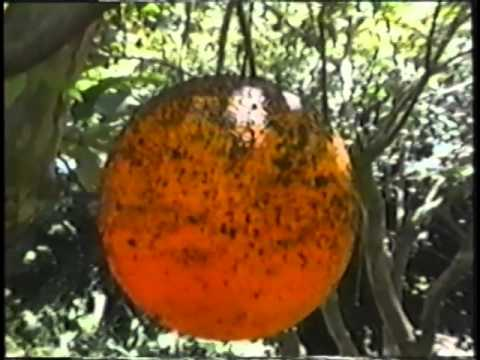 ECHO Tropical Fruits Video Series - (Part 3 of 6)