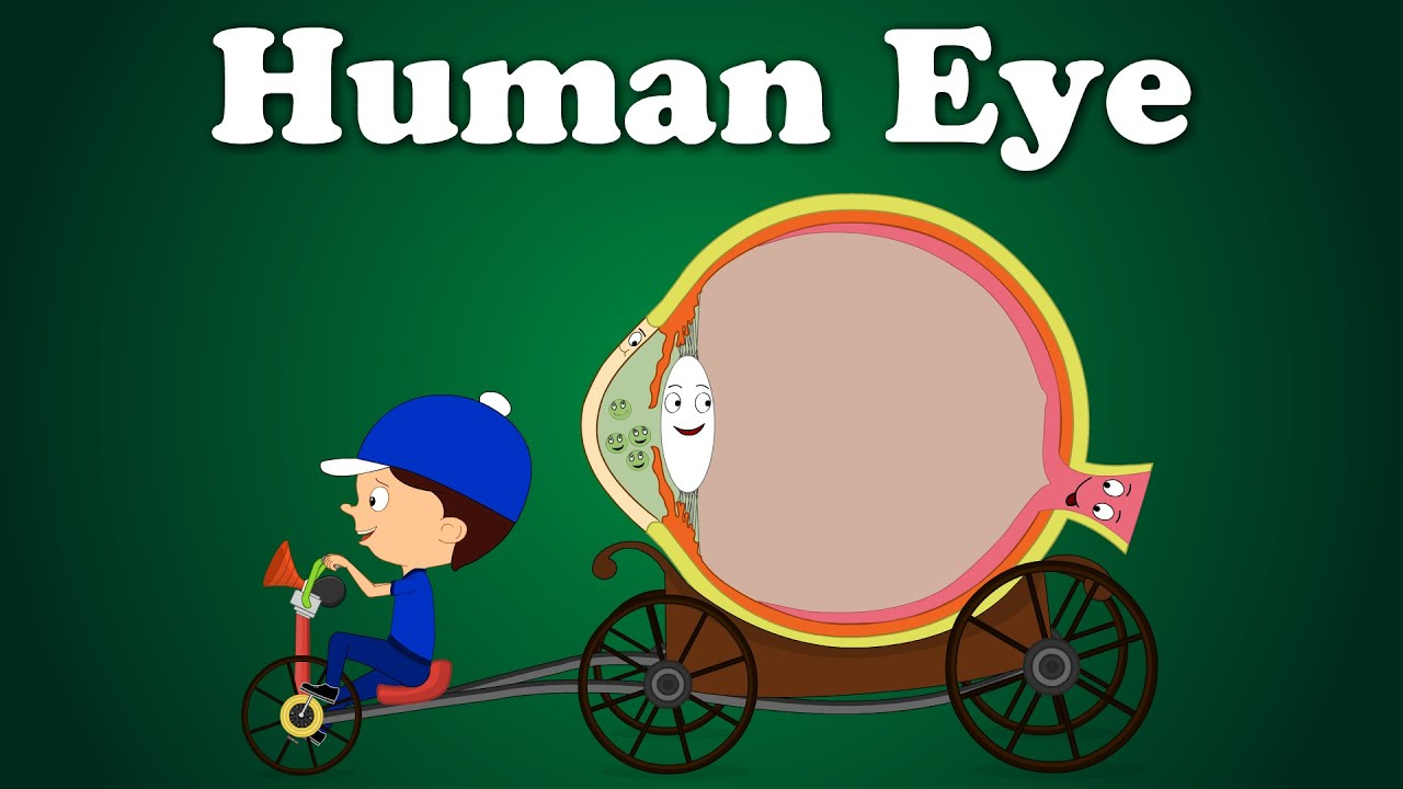 Human Eye Aumsum Kids Education Science Learn Youtube Image Diagram Download