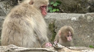 "I continue to record the life of the female monkey named ""Tokkuri 0..."