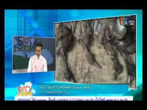 5เช้าข่าวใหญ่ ชาวบ้านบุรีรัมย์ผวา ปอบฆ่าเป็ดยกเล้า 19-8-57