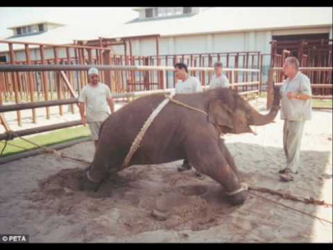 Ringling Bros. -Elephant Child Abusers-Breaking A Baby Elephant