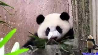 20141024圓仔用小尾尖打招呼The Giant Panda Yuan Zai