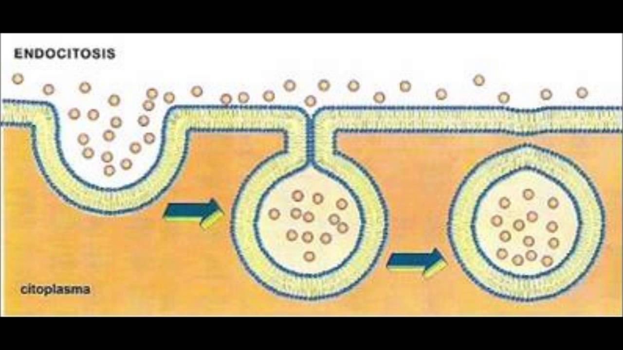 Movimiento Membrana Plasmatica Endocitosis Y Exocitosis