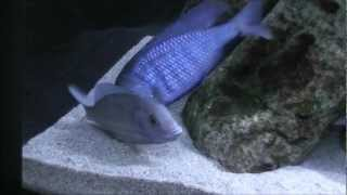 Cyrtocara moorii (Blue Dolphin) - breeding dance