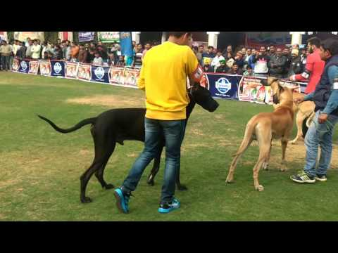 """German mastiff"" Great Dane GKC-2017 Dog Show Selecting Best in Breed - Part 2"