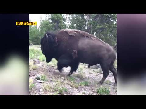 Young girl hurt after bison tosses her into the air in Yellowstone