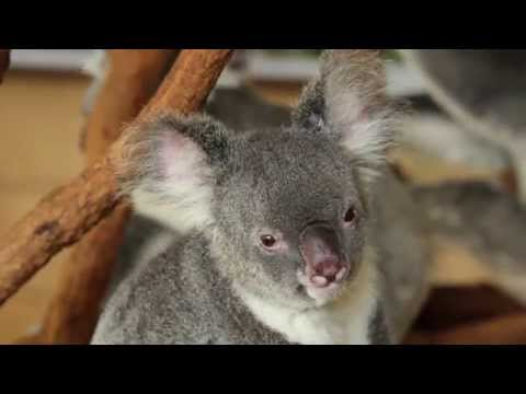 A Day Out At Lone Pine Koala Sanctuary, Australia