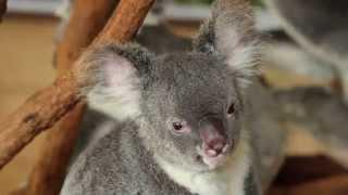 A Day Out At Lone Pine Koala Sanctuary, Australia
