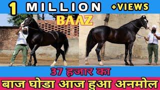 37 हज़ार का  BAAZ  घोड़ा आज हुआ  अनमोल | मारवाड़ी HORSE HIEGHT 68 INCH | Yudhveer Singh Pawar