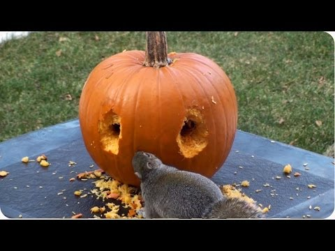 Happy Halloween! | Squirrel Carves Pumpkin