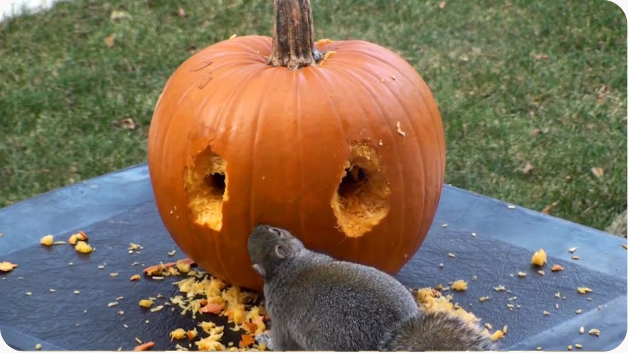 Happy Halloween! | Squirrel Carves Pumpkin   YouTube