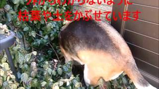 柿の好きなビーグル犬ぐぅですが ひとまず庭に埋めることがあります。 ...