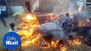 فيديو صادم لهنود يأخذون البركة بإجبار الأبقار على تخطي النار