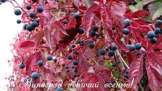 Виноград девичий, растение для оформления стен, заборов.(Замечательное растение для оформления стен, беседок, заборов. Растение можно размножать семенами, отводкам..., 2015-02-19T17:34:57.000Z)