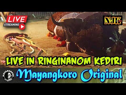 🔴 Bantengan Suro Mayangkoro Original Live Ringinanom Kota KEDIRI 23 Juni 2019