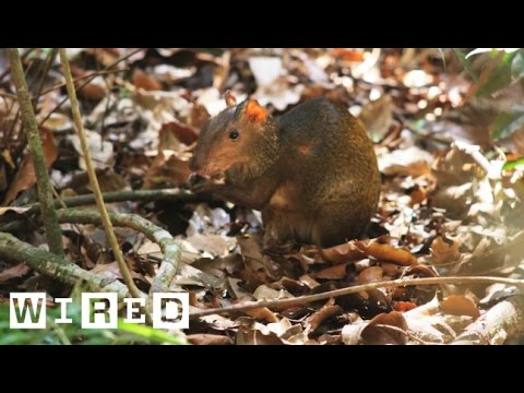 Meet The Agouti, The Giant Yet Lovable Rodent Of The Amazon | WIRED