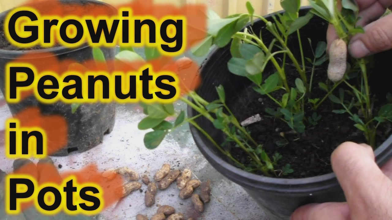Grow Peanuts In Pots    Containers