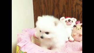 http://pomeranian.breeders.jp/