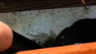 Mini schanuzer getting a rat
