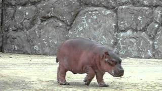 Walking Cute baby hippopotamus.よちよち歩くかわいいカバの赤ちゃん。...