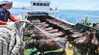 How to Transport Millions Cow, Goat, Sheep, Pig - Modern Export Technology by Big Cargo Ships