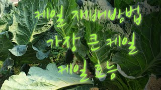 #케일 재배 방법 ,가장 큰 케일& 효능