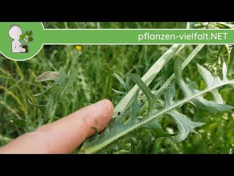 Wiesen-Pippau - Blätter/Wurzel - 07.05.18 (Crepis Biennis) - Essbare Wildpflanzen Bestimmung