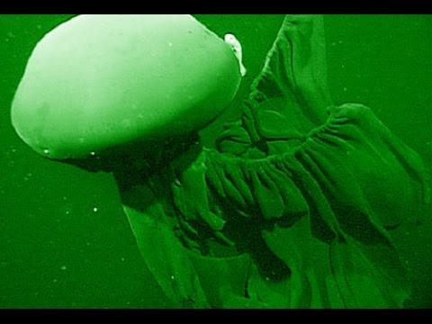Stygiomedusa Gigantea - Deepsea Oddities