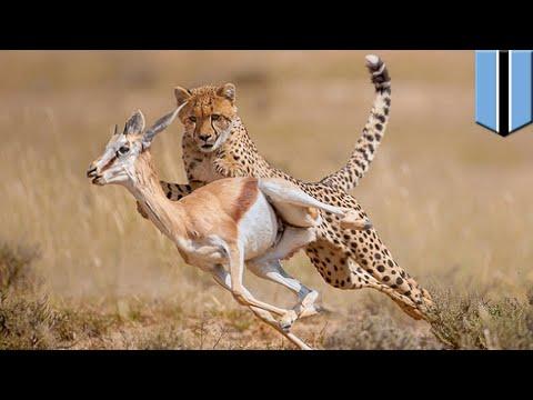 The science of how to escape from the world's fastest predators: predator vs. prey - TomoNews