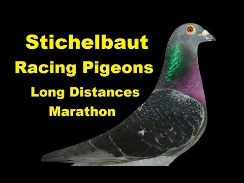 Stichelbaut Racing Pigeon - Long Distances - Marathon