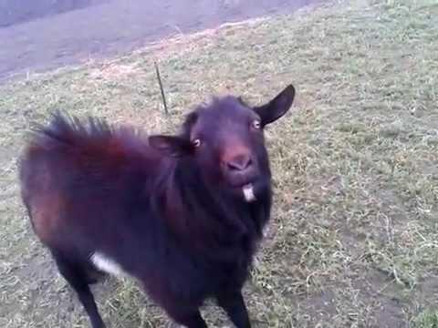 Смешные козлы (17 фото) -