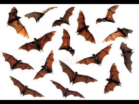 Bat as a Totem Part TWO: Megabat, Microbat, & Vampire Bat Totem Characteristics