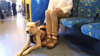 First dingo on the tram