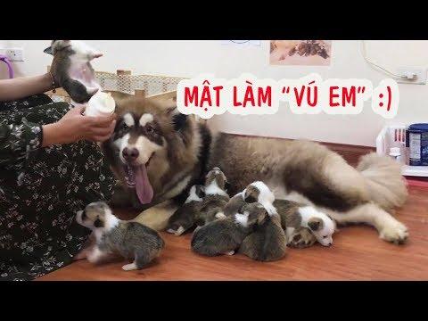 Chó Mật đòi tập làm mẹ , Alaska nuôi Corgi con -  Male Dogs ==))